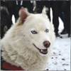 winter sled dog ride in Ekaterinburg Russia