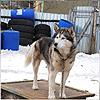 Husky dog in Russia